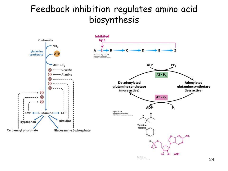 Feedback inhibition regulates amino acid biosynthesis 24