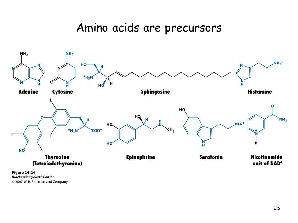 Amino acids are precursors 25