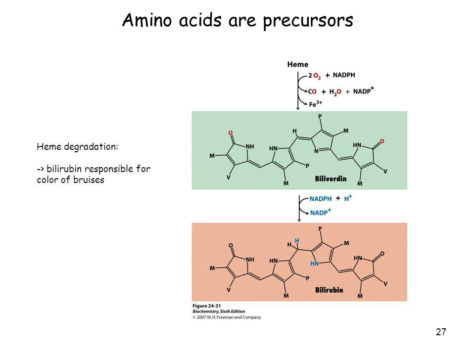 Amino acids are precursors 27 Heme degradation: -> bilirubin responsible for color of bruises