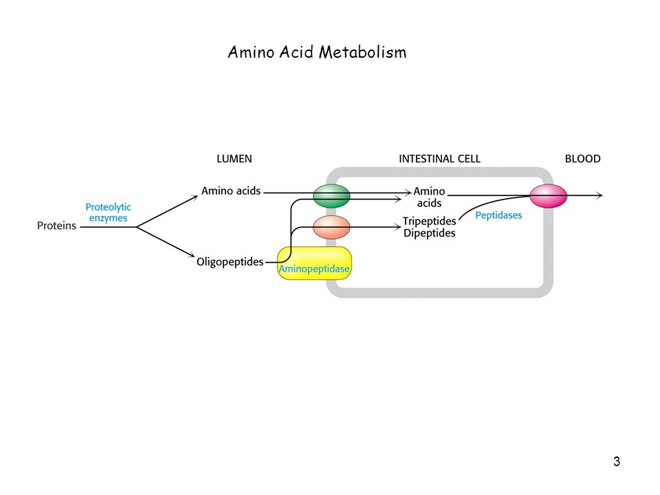 Feedback inhibition regulates amino acid biosynthesis 24