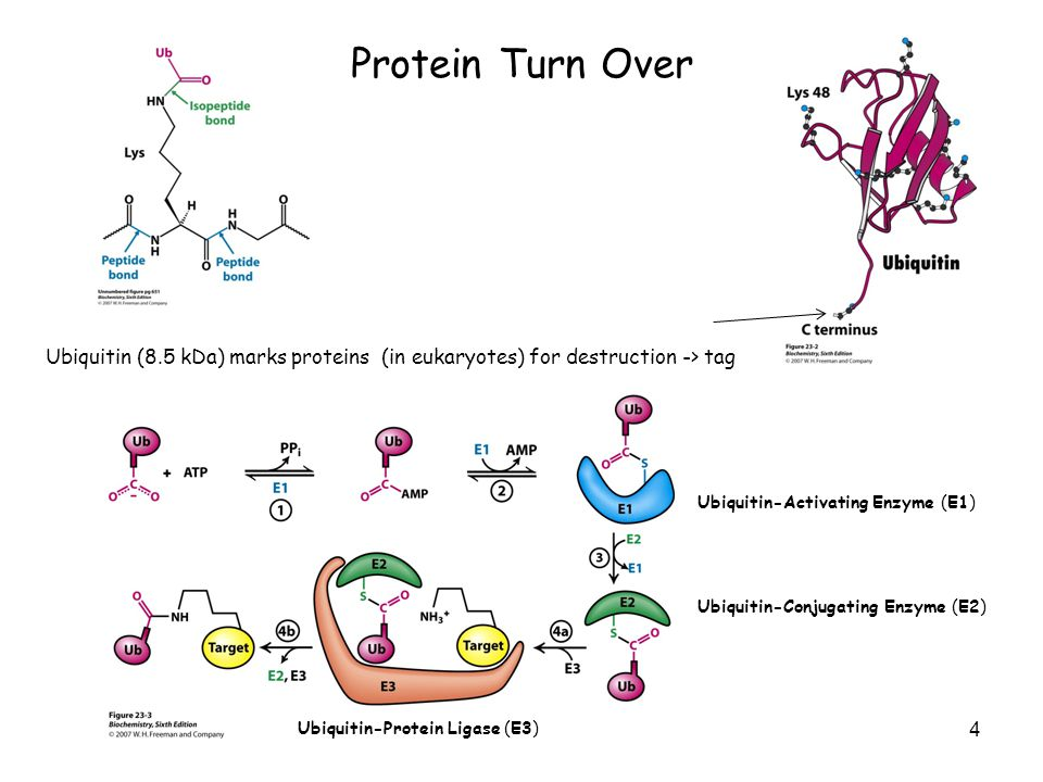 Protein Turn Over 5 What determines if protein ubiquitinated.