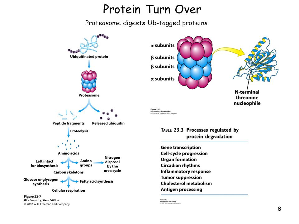 Protein Turn Over 6 Proteasome digests Ub-tagged proteins
