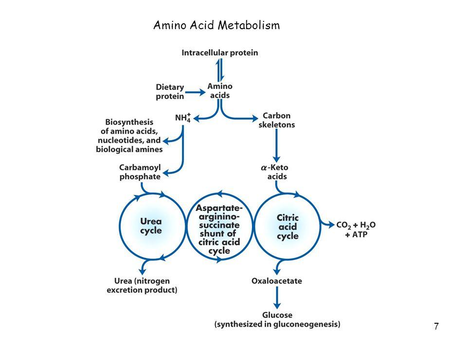 7 Amino Acid Metabolism