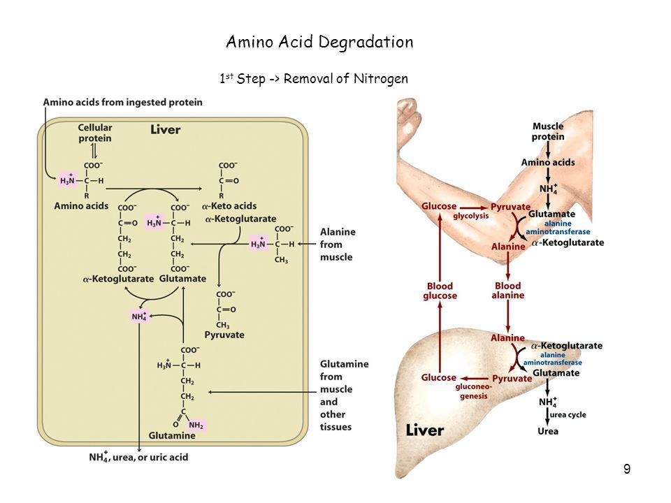 9 Amino Acid Degradation 1 st Step -> Removal of Nitrogen