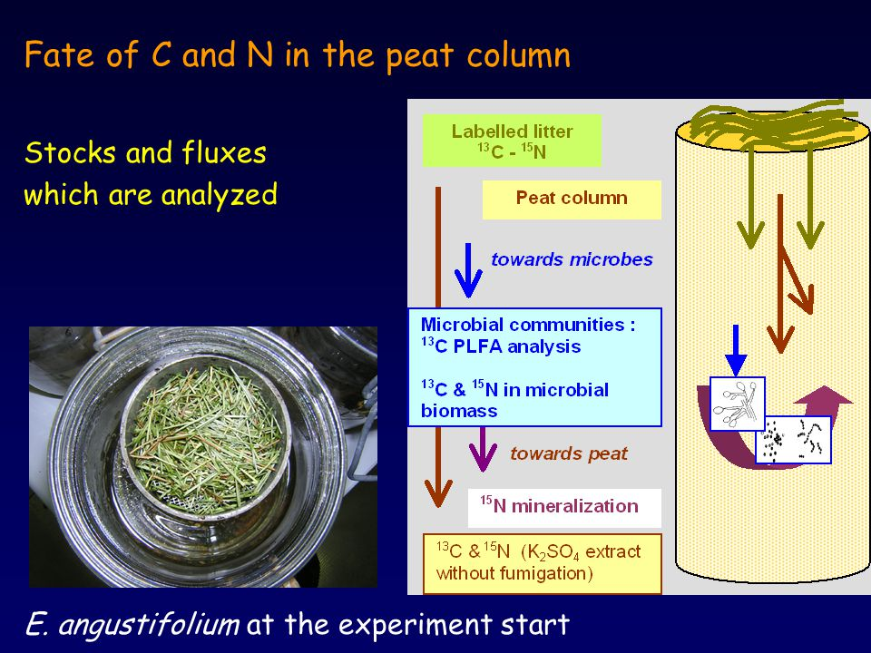 Fate of C and N in the peat column Stocks and fluxes which are analyzed E.