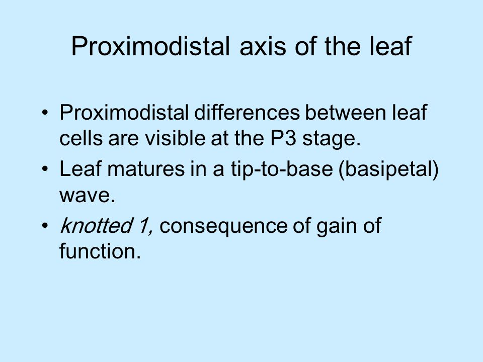 Proximodistal axis of the leaf Proximodistal differences between leaf cells are visible at the P3 stage.