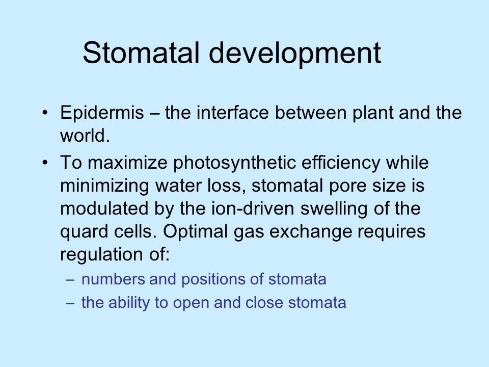 Stomatal development Epidermis – the interface between plant and the world.
