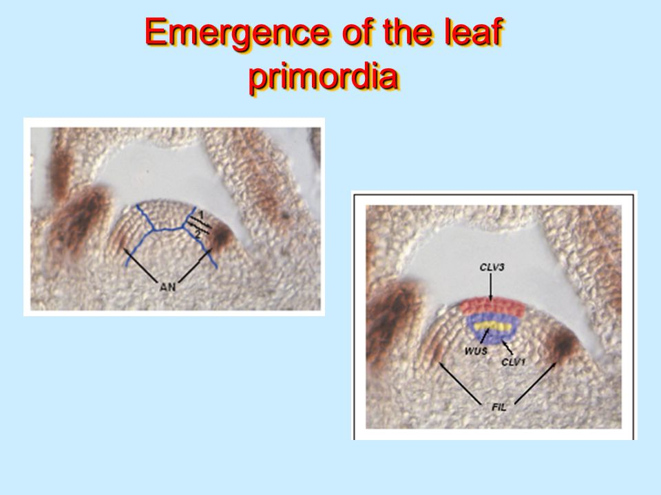 Emergence of the leaf primordia
