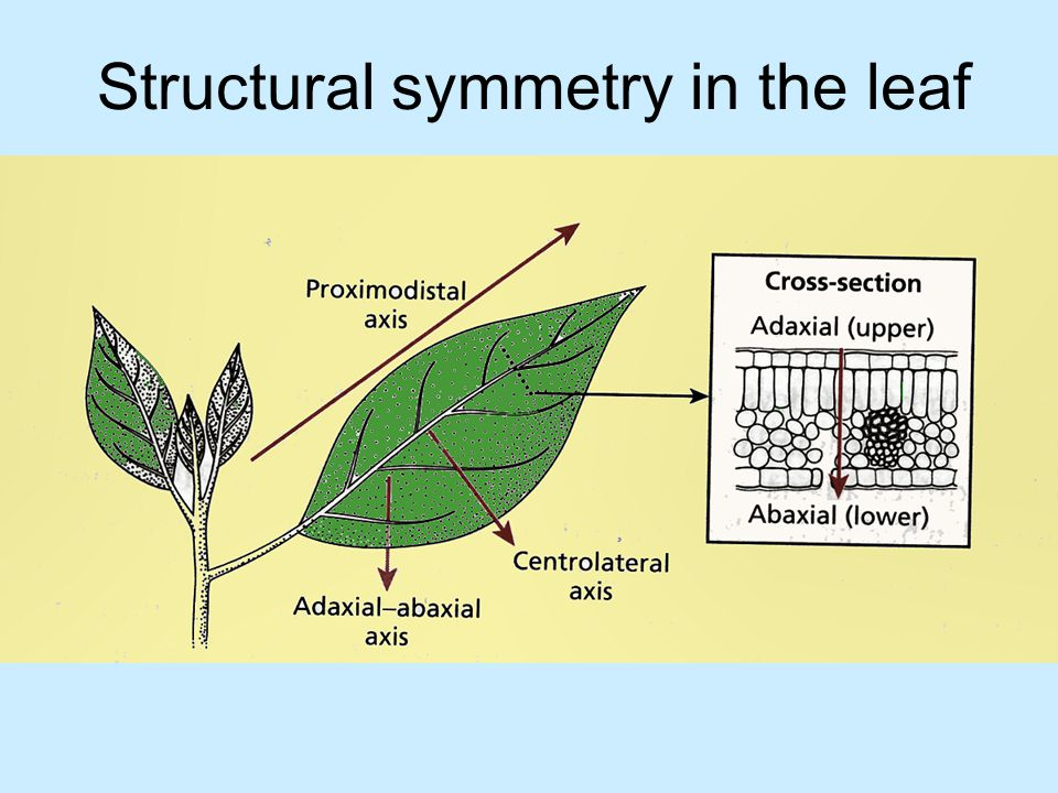 Structural symmetry in the leaf