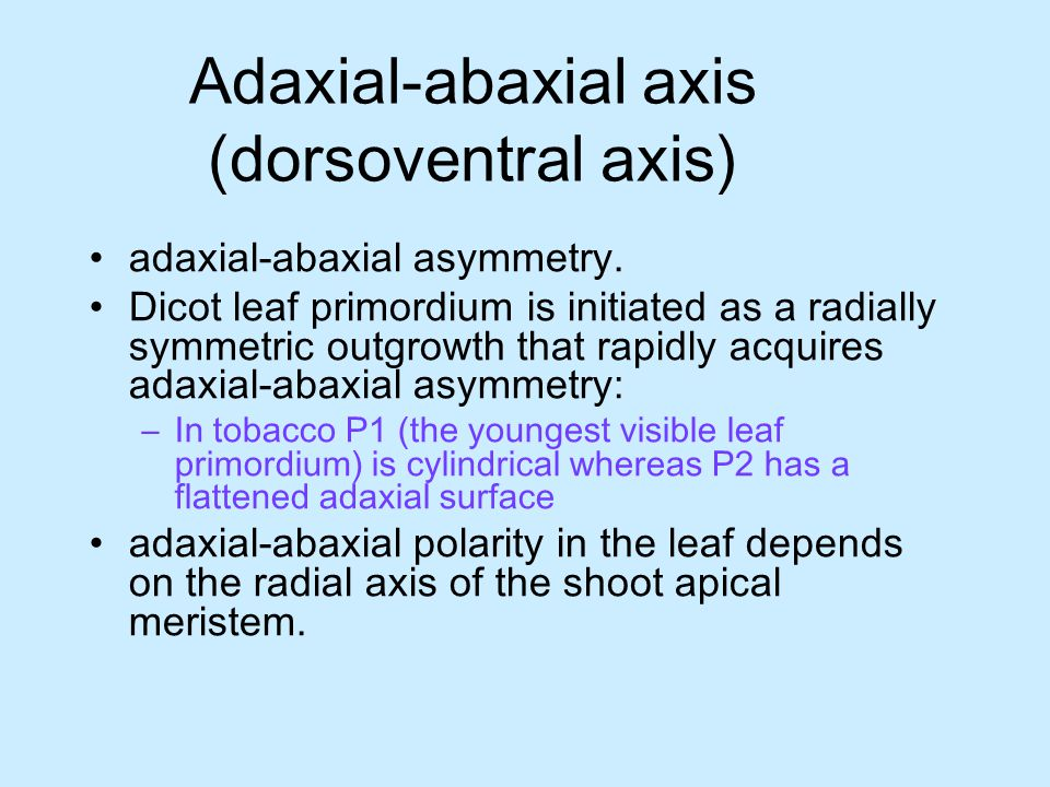 Adaxial-abaxial axis (dorsoventral axis) adaxial-abaxial asymmetry. Dicot leaf primordium is initiated as a radially symmetric outgrowth that rapidly