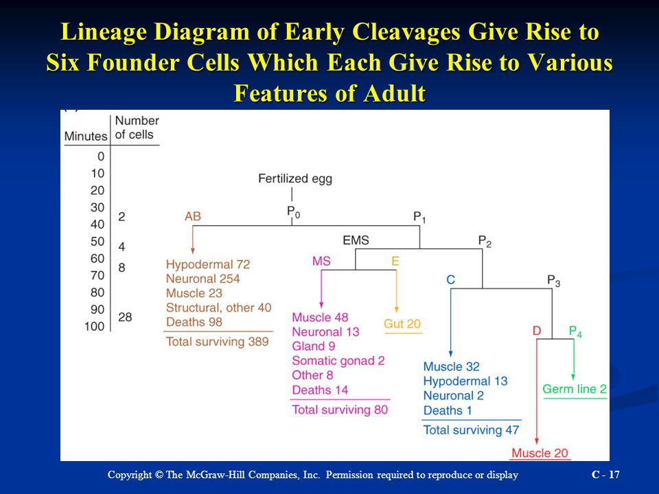 Copyright © The McGraw-Hill Companies, Inc. Permission required to reproduce or display C - 17 Lineage Diagram of Early Cleavages Give Rise to Six Fou