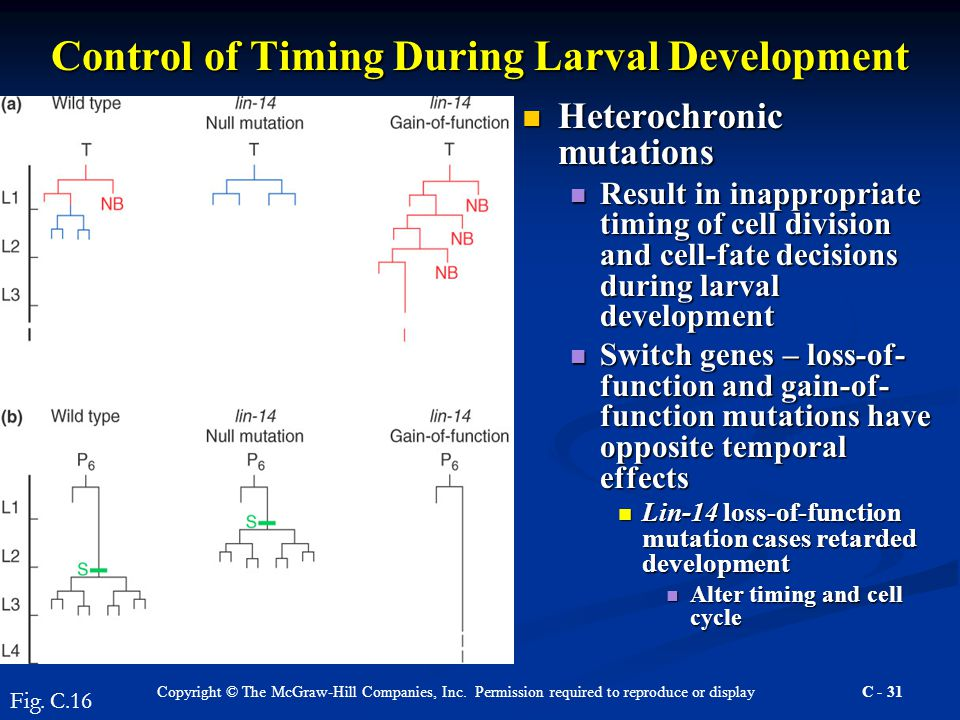 Copyright © The McGraw-Hill Companies, Inc. Permission required to reproduce or display C - 31 Control of Timing During Larval Development Heterochron