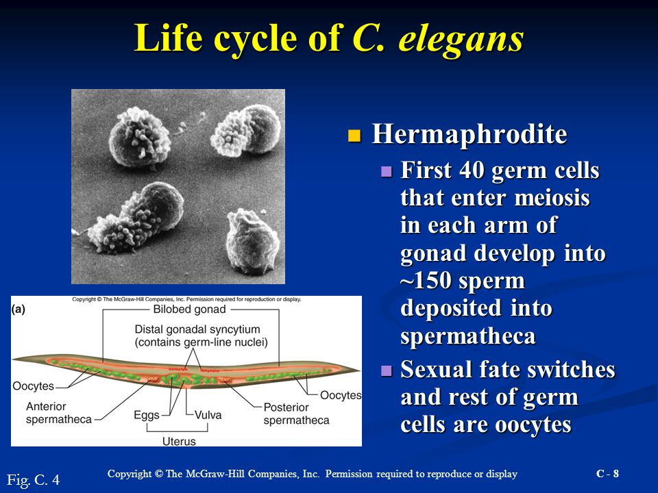 Copyright © The McGraw-Hill Companies, Inc. Permission required to reproduce or display C - 8 Life cycle of C. elegans Hermaphrodite Hermaphrodite Fir