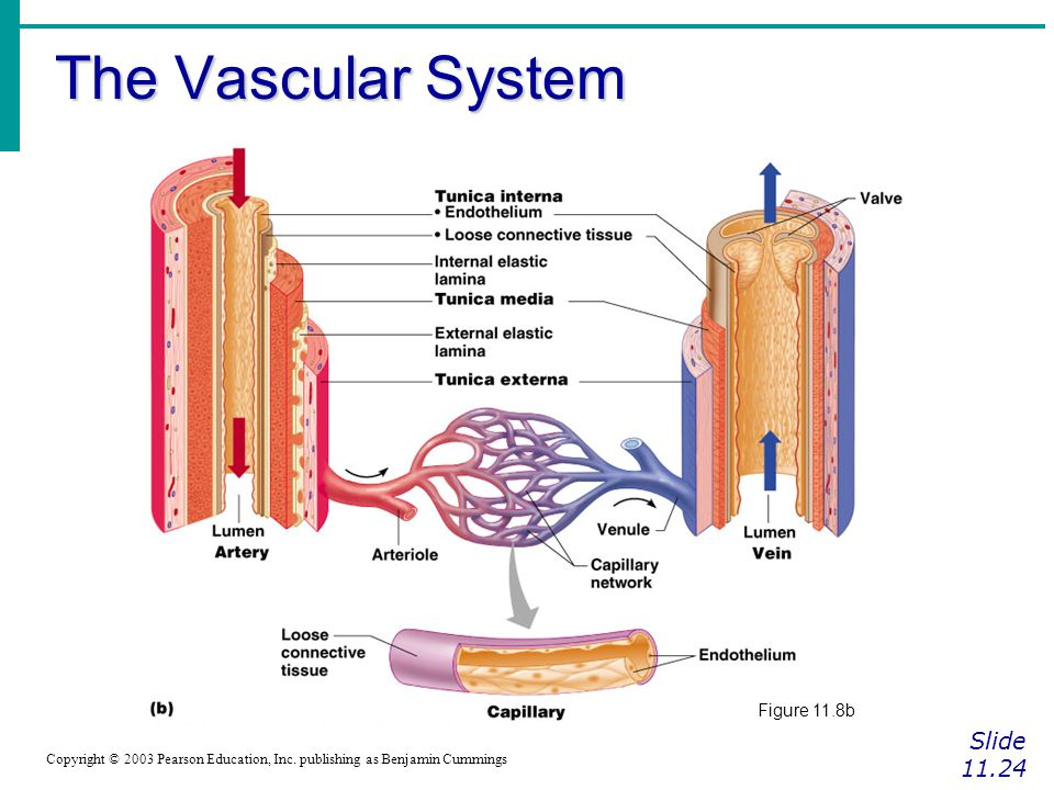 The Vascular System Slide 11.24 Copyright © 2003 Pearson Education, Inc. publishing as Benjamin Cummings Figure 11.8b