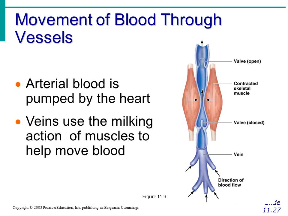 Movement of Blood Through Vessels Slide 11.27 Copyright © 2003 Pearson Education, Inc. publishing as Benjamin Cummings  Arterial blood is pumped by t