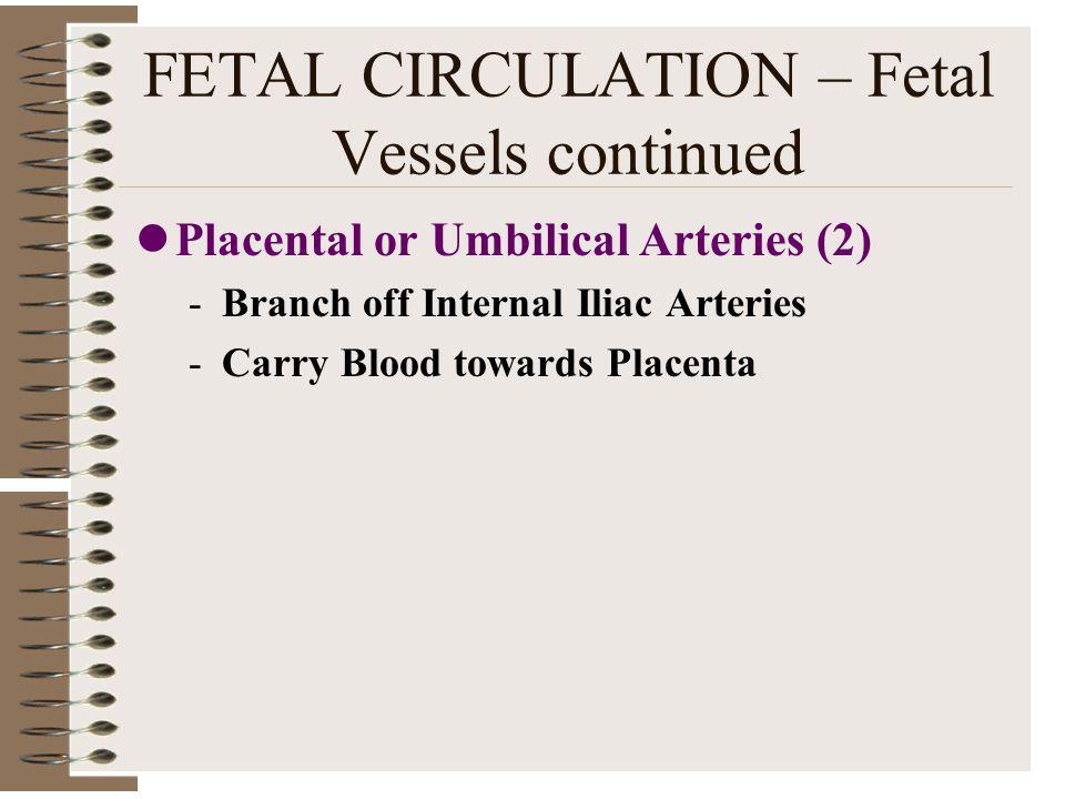 FETAL CIRCULATION – Fetal Vessels continued Placental or Umbilical Arteries (2) -Branch off Internal Iliac Arteries -Carry Blood towards Placenta