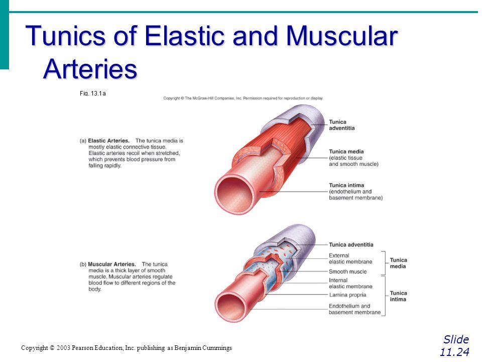 Tunics of Elastic and Muscular Arteries Slide 11.24 Copyright © 2003 Pearson Education, Inc. publishing as Benjamin Cummings Figure 11.8b