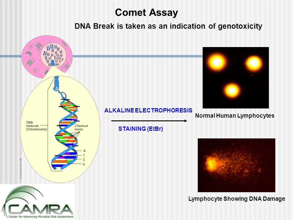 Normal Human Lymphocytes Lymphocyte Showing DNA Damage DNA Break is taken as an indication of genotoxicity ALKALINE ELECTROPHORESIS STAINING (EtBr) Comet Assay