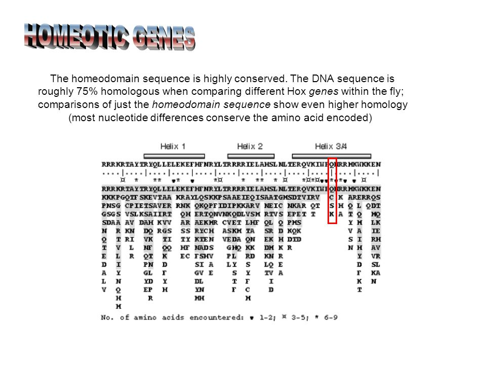 The homeodomain sequence is highly conserved.