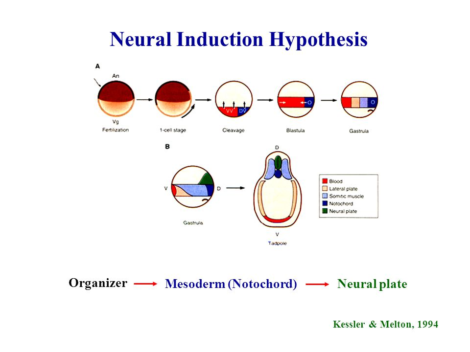 Kessler & Melton, 1994 Neural Induction Hypothesis Organizer Mesoderm (Notochord)Neural plate