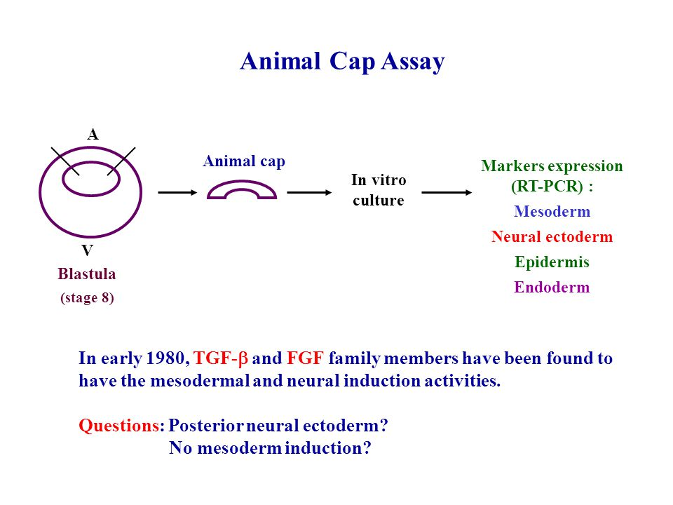 Animal Cap Assay A V In vitro culture Markers expression (RT-PCR) : Mesoderm Neural ectoderm Epidermis Endoderm Animal cap Blastula (stage 8) In early 1980, TGF-  and FGF family members have been found to have the mesodermal and neural induction activities.