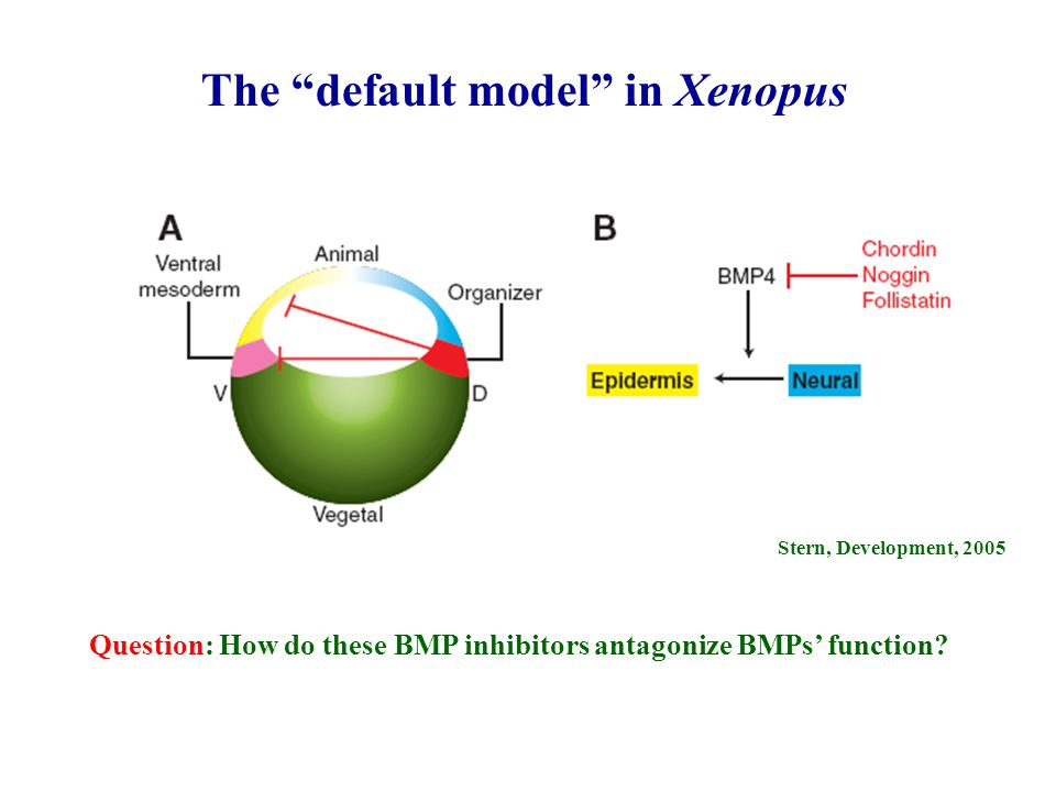 Stern, Development, 2005 The default model in Xenopus Question: How do these BMP inhibitors antagonize BMPs' function?