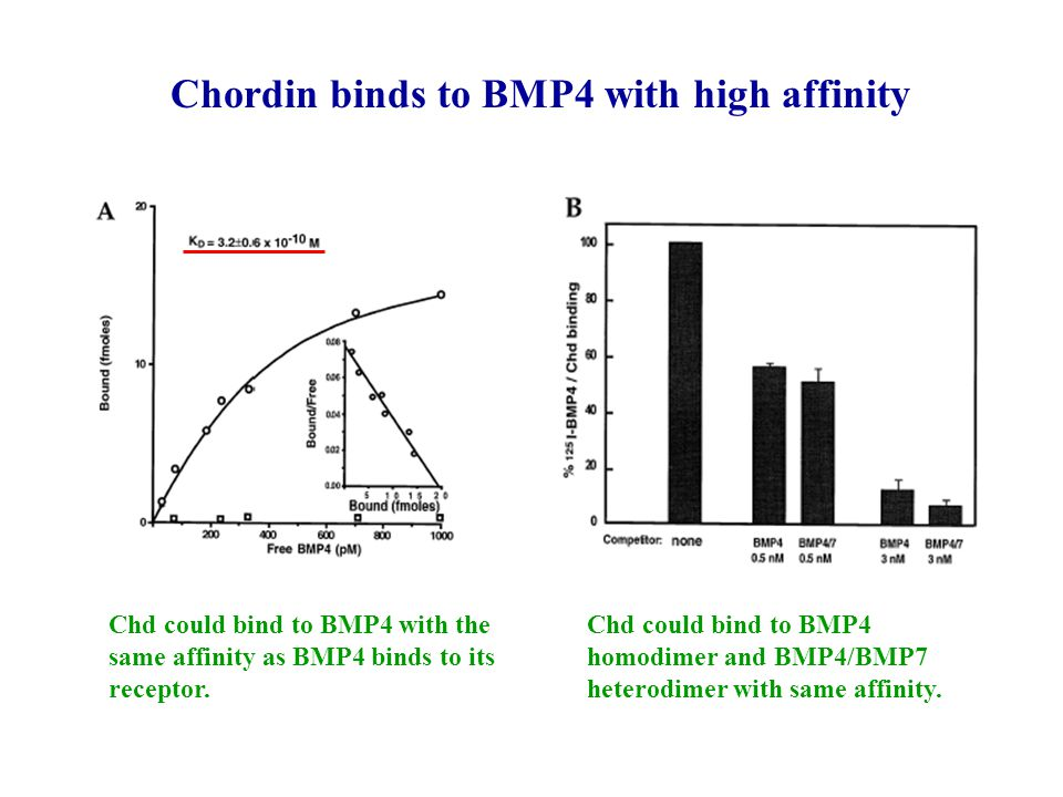 Chordin binds to BMP4 with high affinity Chd could bind to BMP4 with the same affinity as BMP4 binds to its receptor.