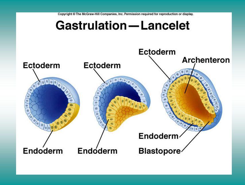 Gastrulation in the lancelet