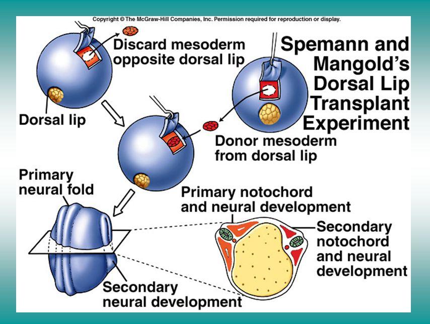 Spemann and Mangold's dorsal lip transplant experiment