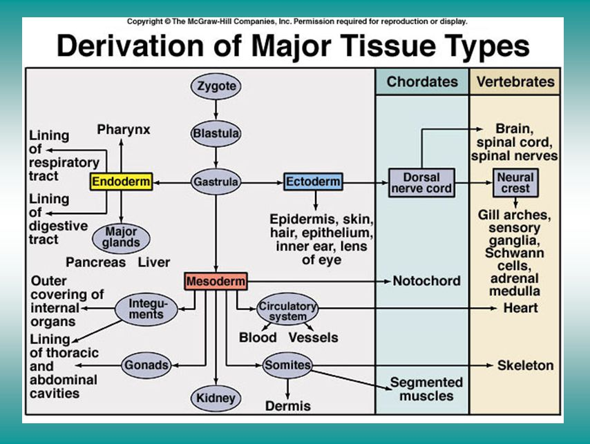 Derivation of major tissue types