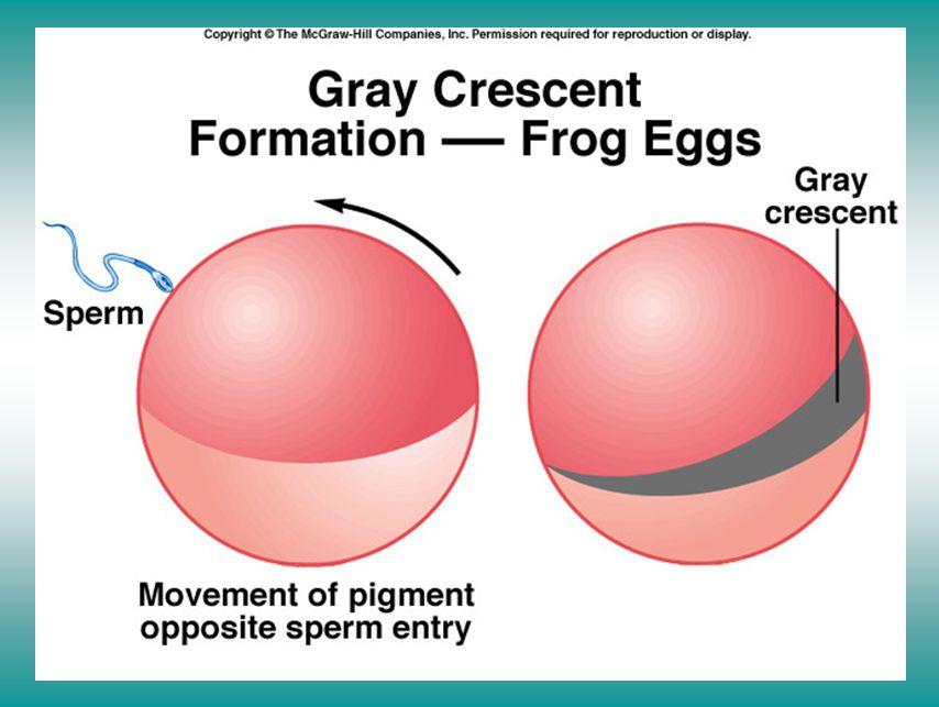 Polarity in early embryos