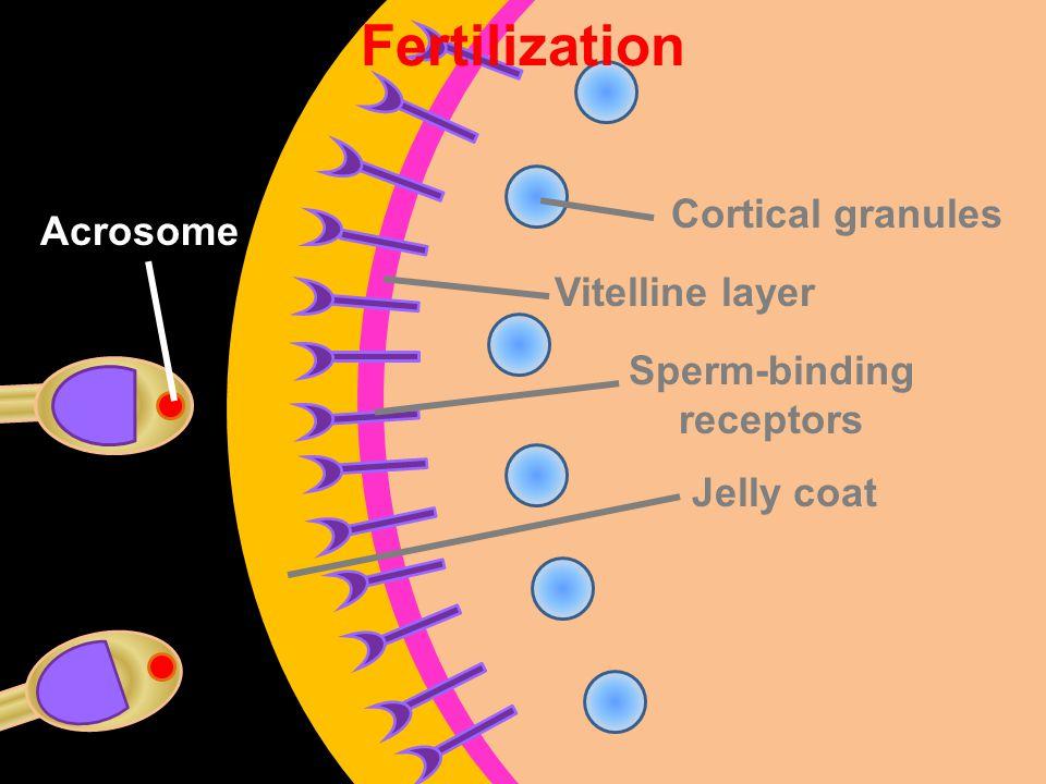 Vitelline layer Sperm-binding receptors Jelly coat Cortical granules Fertilization Acrosome