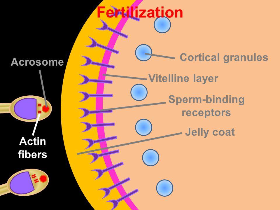 Vitelline layer Sperm-binding receptors Jelly coat Cortical granules Fertilization Acrosome Actin fibers