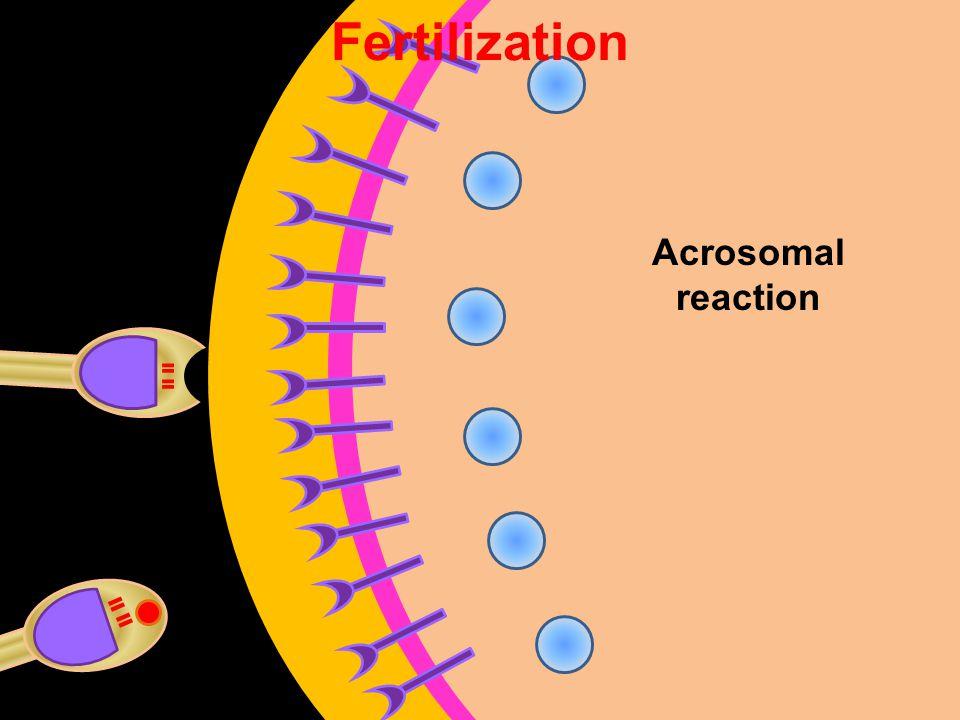 Acrosomal reaction