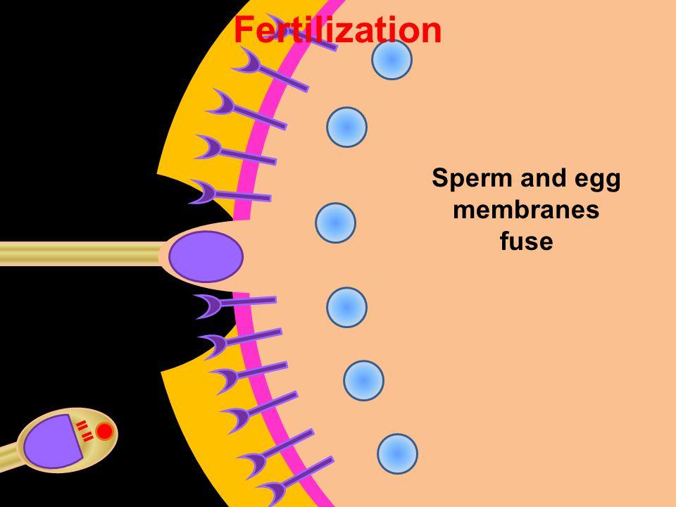 Fertilization Sperm and egg membranes fuse