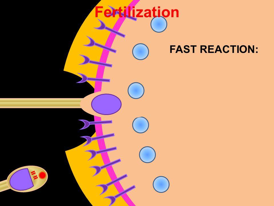 Fertilization FAST REACTION:
