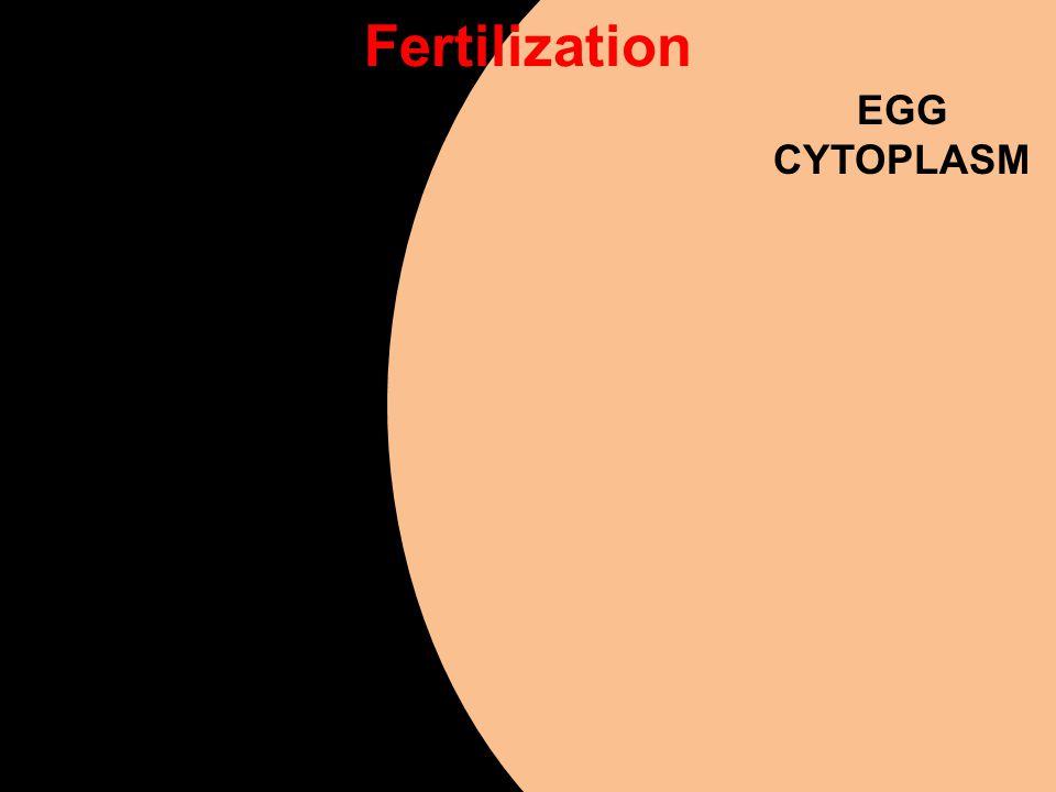EGG CYTOPLASM