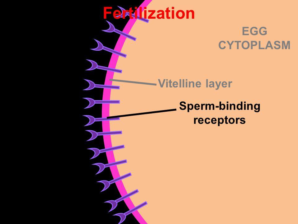 EGG CYTOPLASM Vitelline layer Sperm-binding receptors Fertilization
