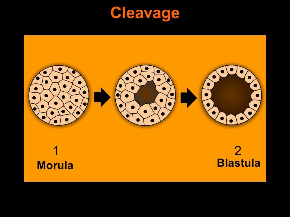 Morula Blastula