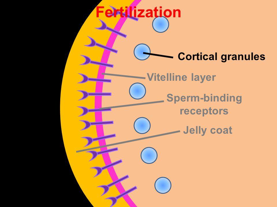 Vitelline layer Sperm-binding receptors Jelly coat Cortical granules Fertilization