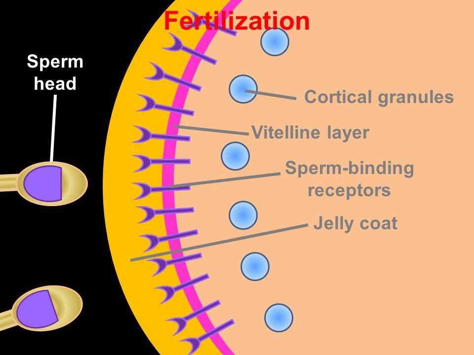 Vitelline layer Sperm-binding receptors Jelly coat Cortical granules Fertilization Sperm head