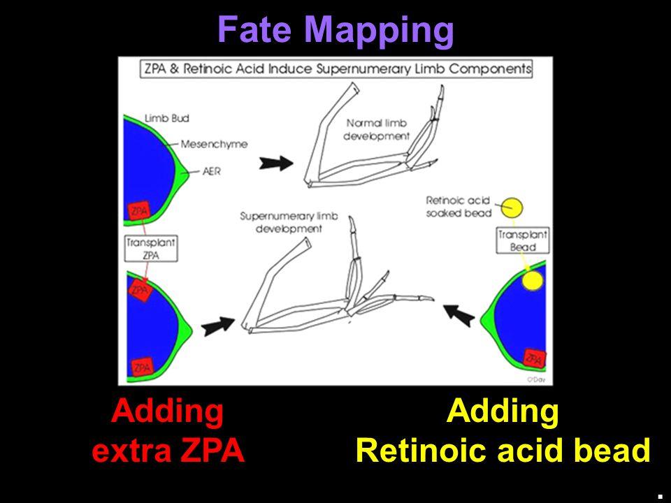 Fate Mapping Adding extra ZPA Adding Retinoic acid bead.