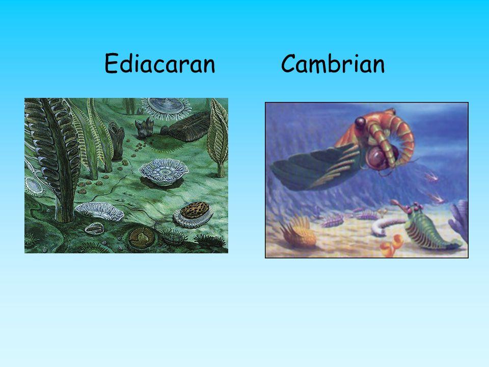 Ediacaran Cambrian