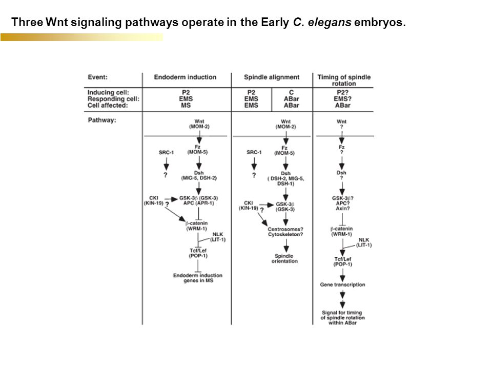 Three Wnt signaling pathways operate in the Early C. elegans embryos.