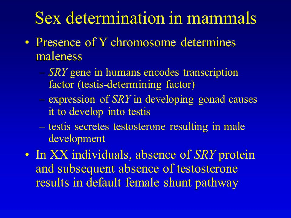 Sex determination in mammals Presence of Y chromosome determines maleness –SRY gene in humans encodes transcription factor (testis-determining factor)