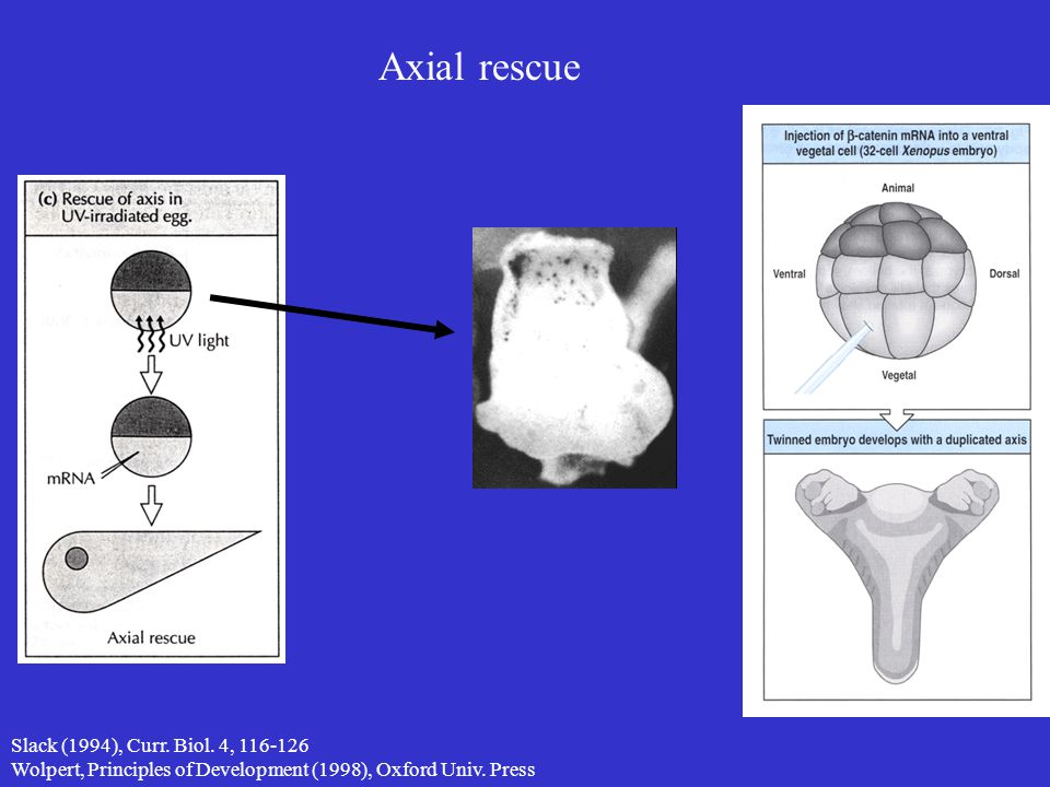Axial rescue Slack (1994), Curr. Biol. 4, 116-126 Wolpert, Principles of Development (1998), Oxford Univ. Press