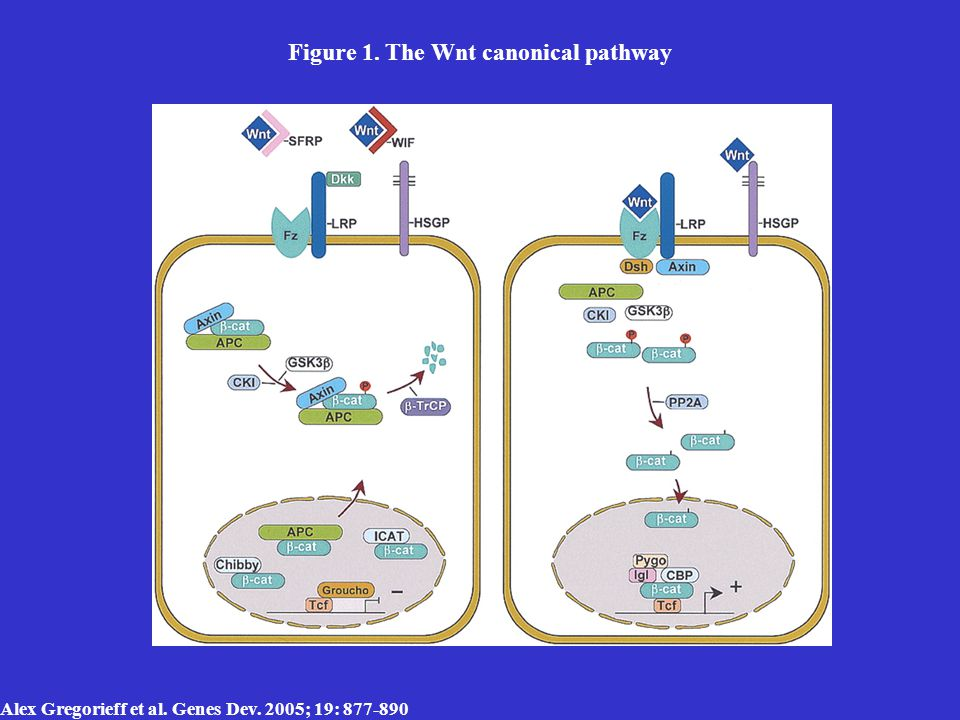 Alex Gregorieff et al. Genes Dev. 2005; 19: 877-890 Figure 1. The Wnt canonical pathway