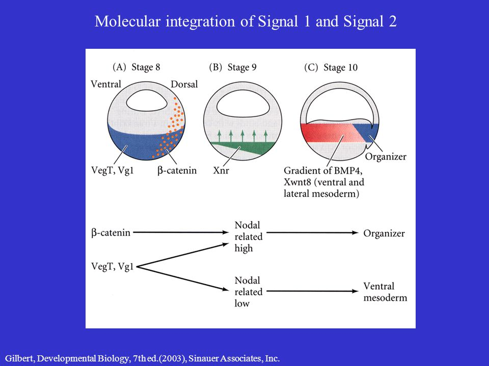 Molecular integration of Signal 1 and Signal 2 Gilbert, Developmental Biology, 7th ed.(2003), Sinauer Associates, Inc.