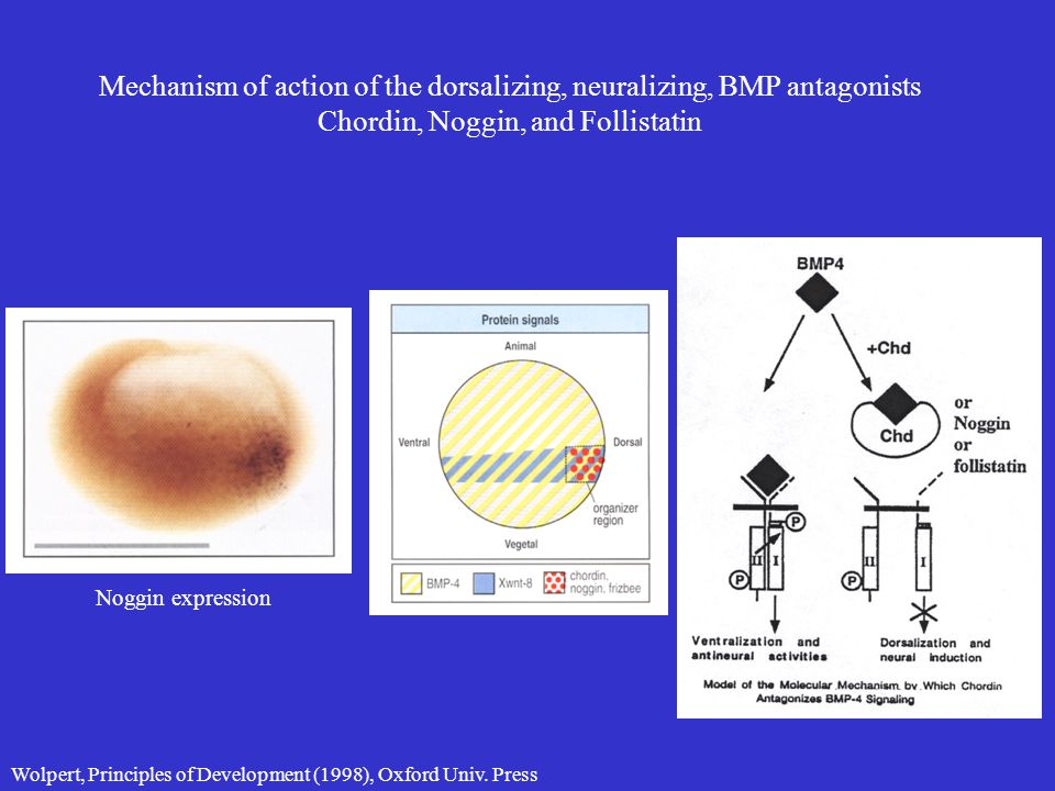 Mechanism of action of the dorsalizing, neuralizing, BMP antagonists Chordin, Noggin, and Follistatin Wolpert, Principles of Development (1998), Oxfor
