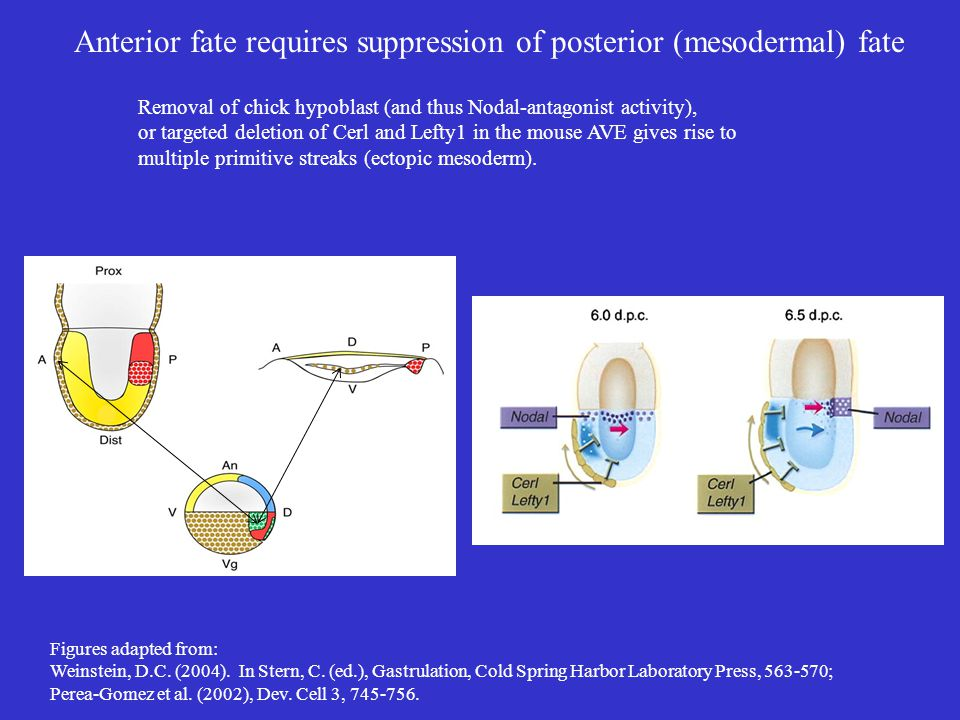 Anterior fate requires suppression of posterior (mesodermal) fate Removal of chick hypoblast (and thus Nodal-antagonist activity), or targeted deletio
